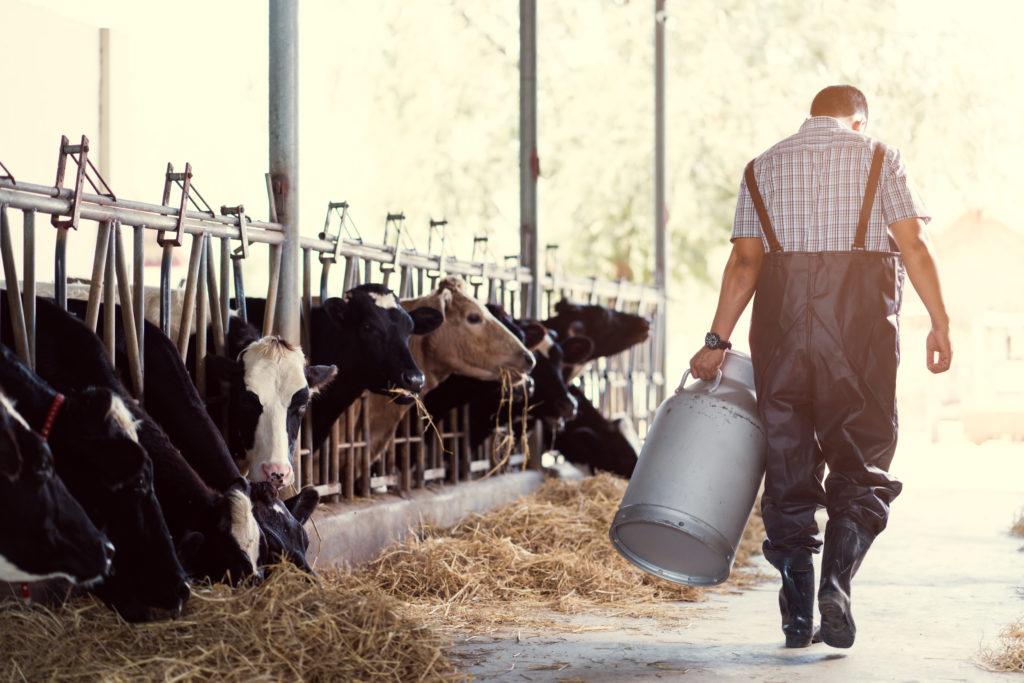 Dairy farmer carrying milk in front of his cows.